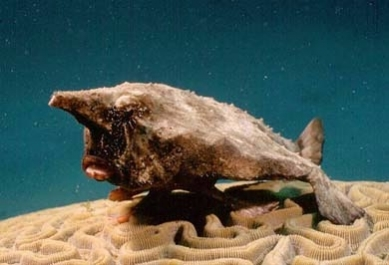 gallery/toadfish